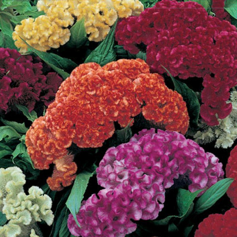 Semena: Nevadlec k sušení nízký | KOBA Zahrada